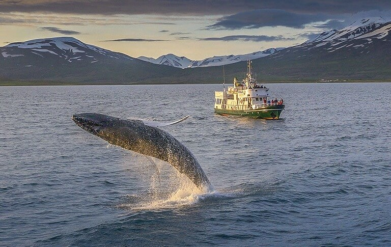 excursion ballenas islandia akureyri