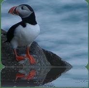 Fauna de Islandia - frailecillo