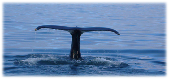 See the whales in Húsavík, capital of the whales in Iceland.