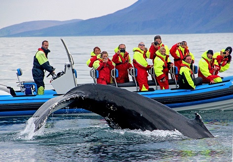 Whale watching off Husavik, Iceland. Get up close and personal with the whales.
