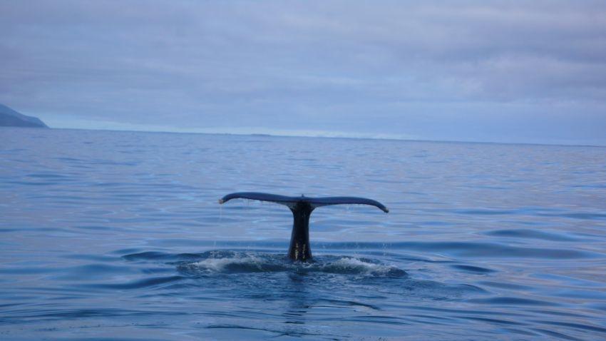 Avistamiento de ballenas en Húsavík Islandia