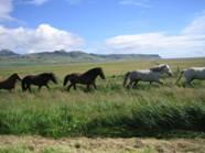 foto de Caballo islandés